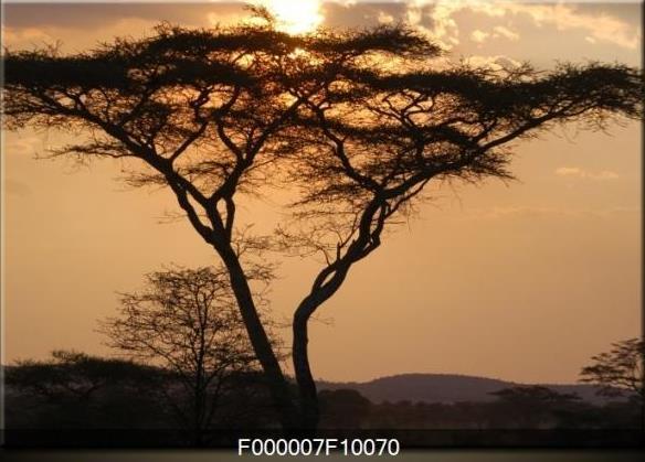 Obraz stromu ve večerní krajině