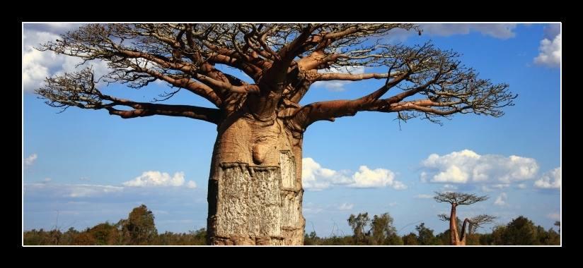 Obraz na zeď strom baobab