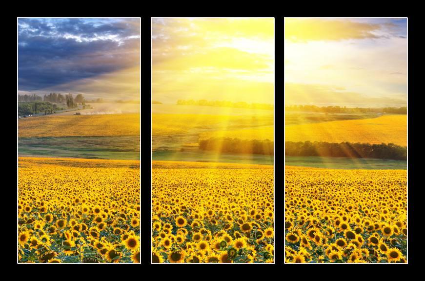 Obraz na zeď pole slunečnic