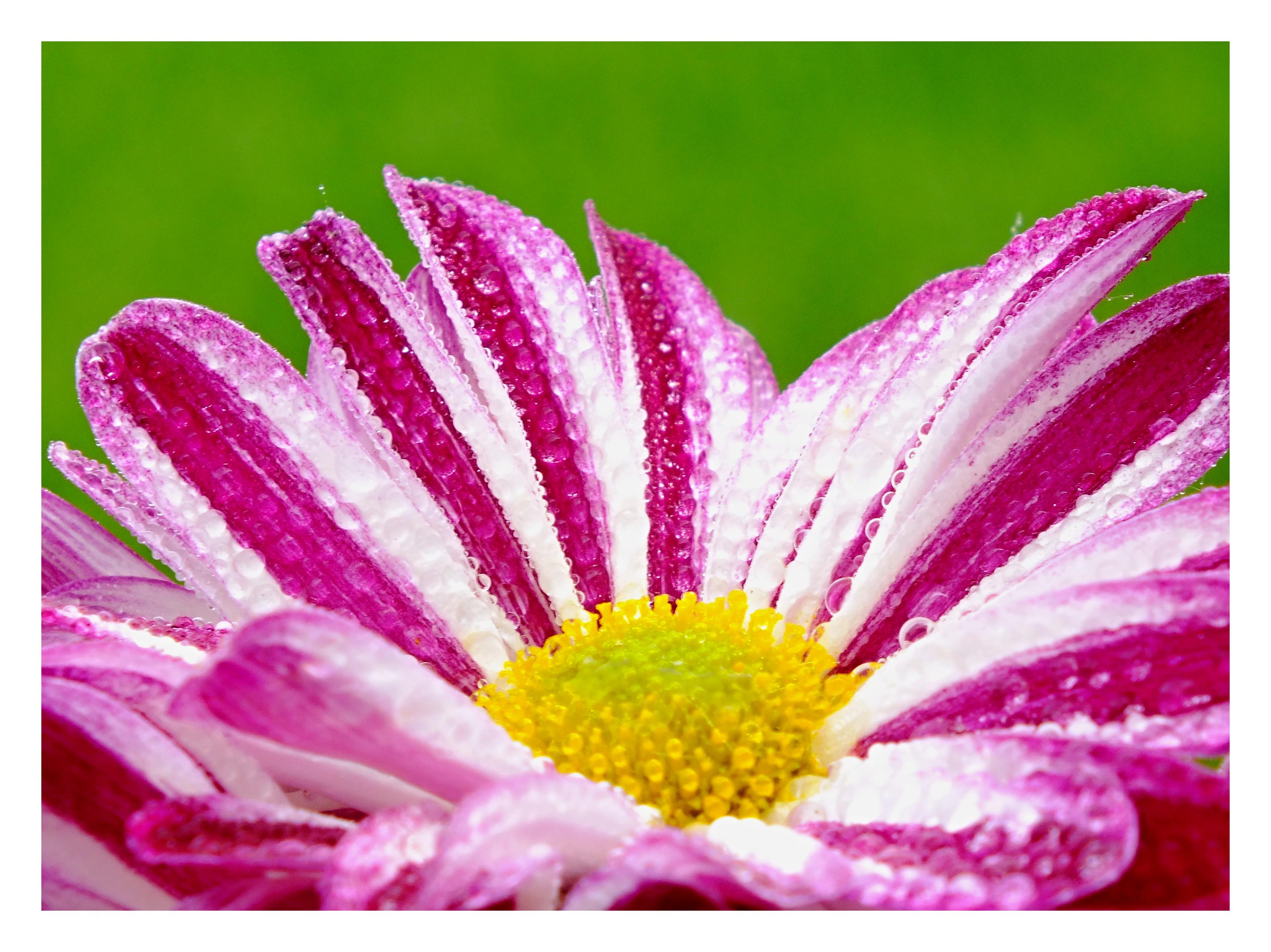 Obraz do bytu růžový květ