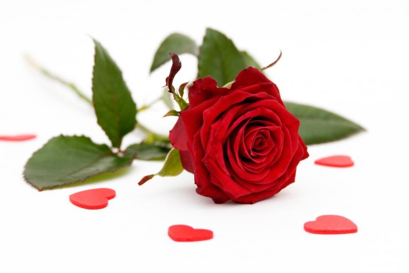 Fototapeta růže