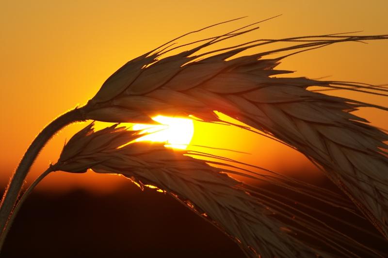 Fototapeta západ slunce, klasy obilí