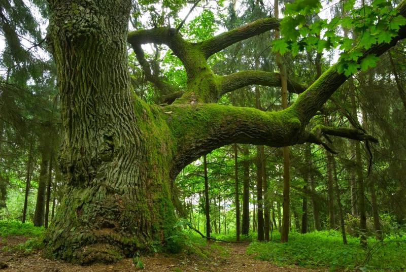 Fototapeta starý strom