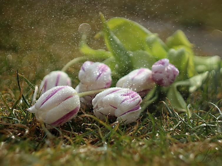 Obraz do bytu tulipány v trávě