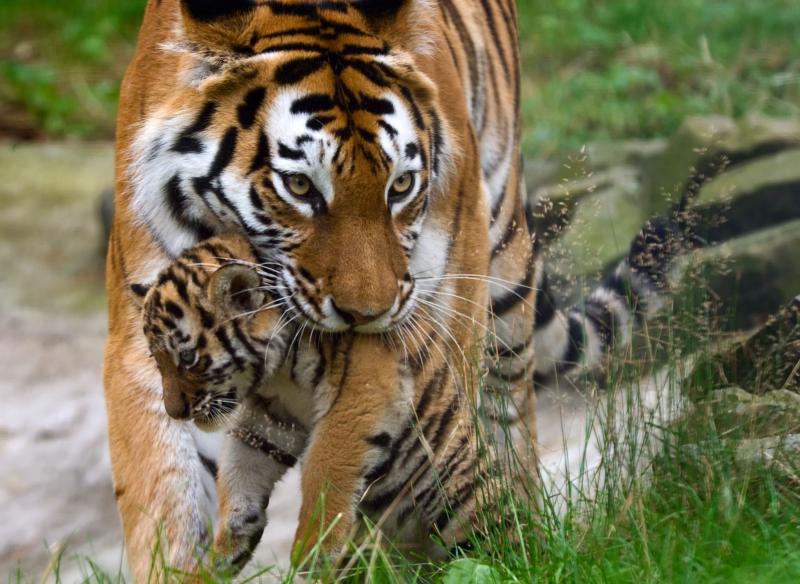 Fototapeta tygr s mládětem