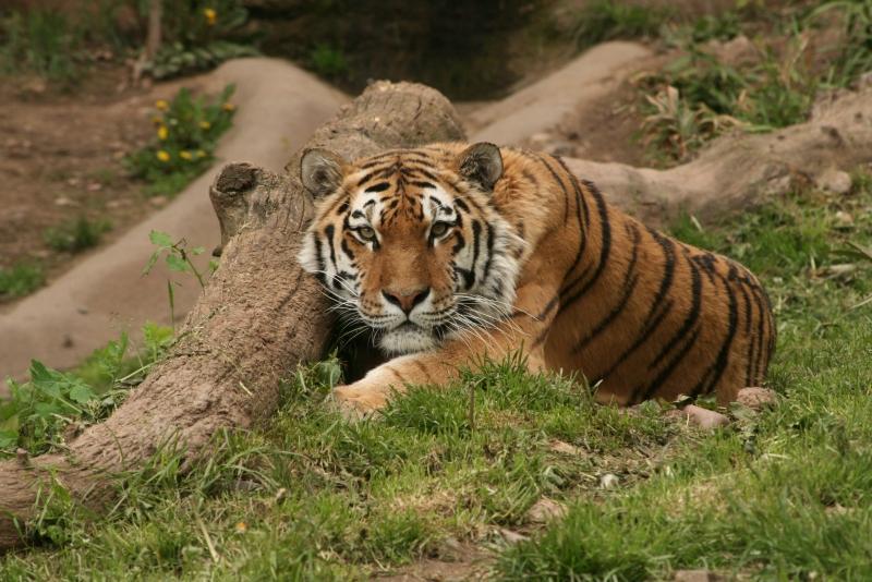 Fototapeta tygr