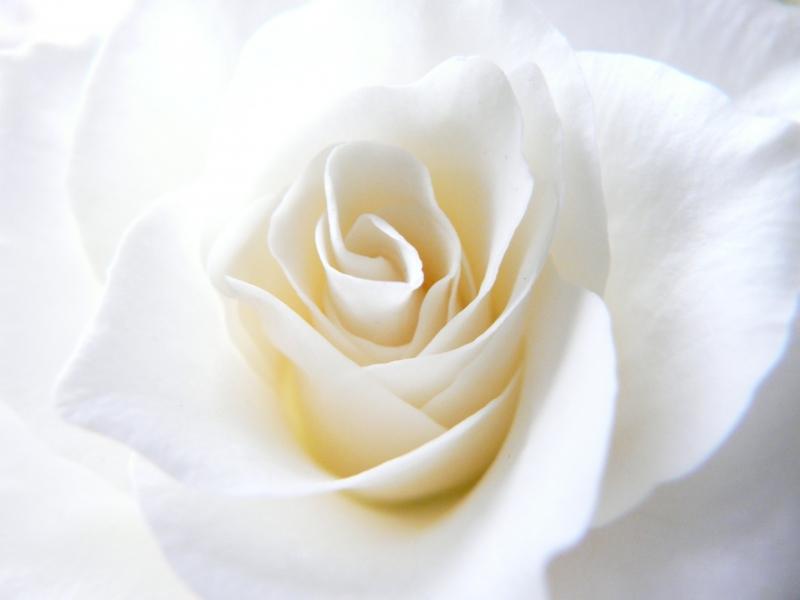 Fototapeta krémová růže