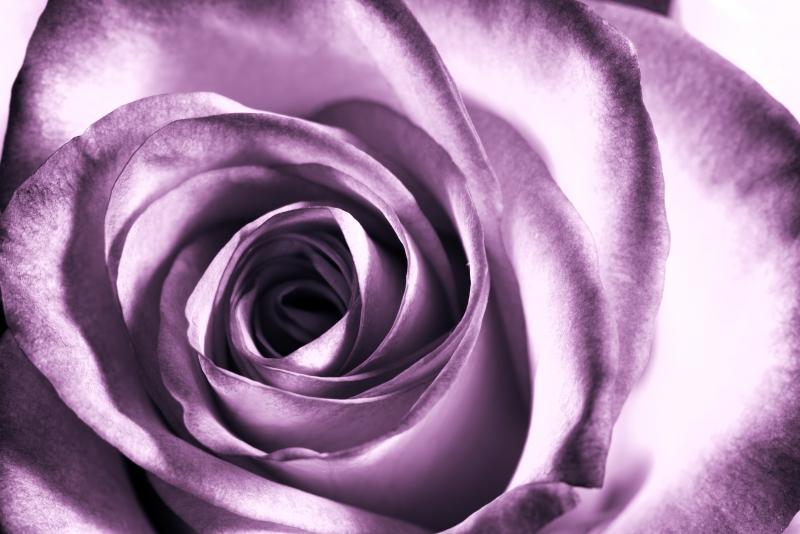 Fototapeta květ růže
