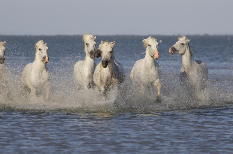 Fototapeta koně v moři