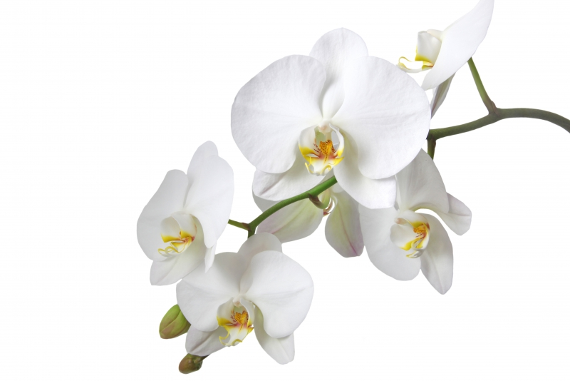 Fototapeta bílé orchidee