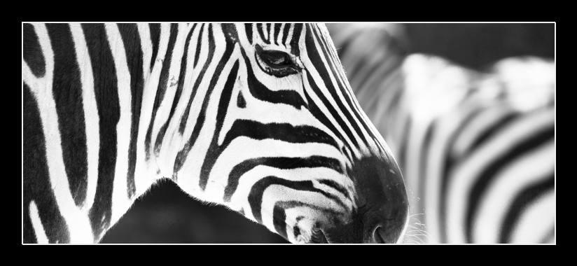 Obraz na skle zebra