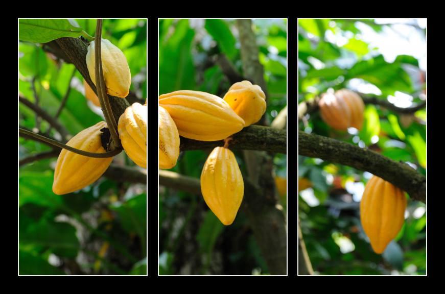 Obraz na zeď kakaovník
