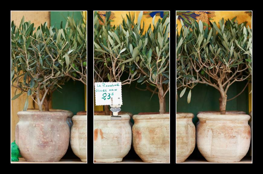 Obraz na zeď olivovníky, bonsaje