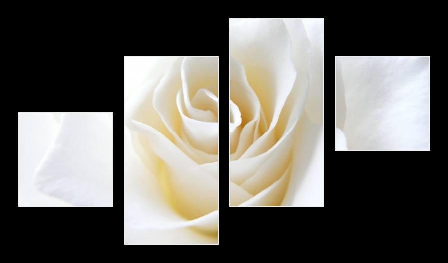 Obraz bílé růže