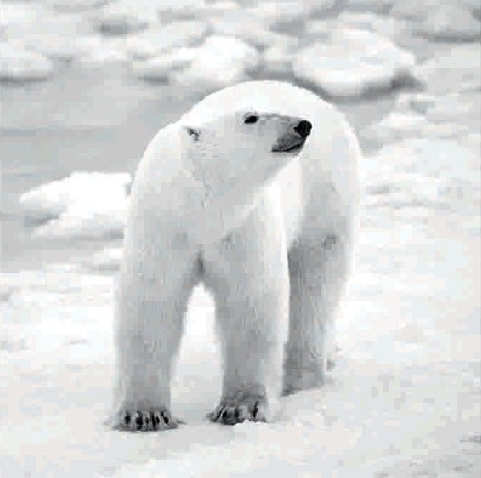 Černobílý obraz ledního medvěda