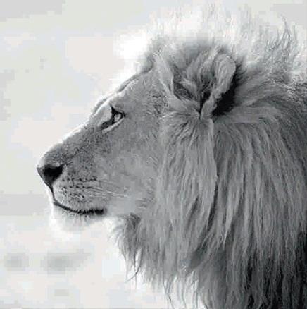 Černobílý obraz lva