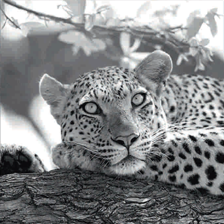 Černobílý obraz levharta