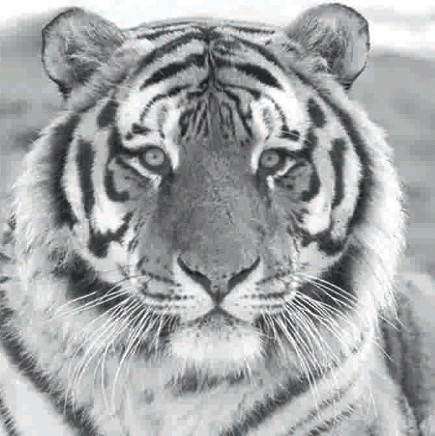 Černobílý obraz tygra