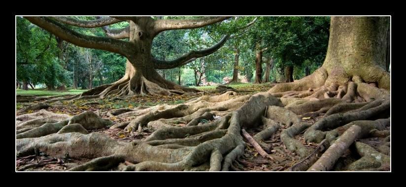 Obraz na zeď kořeny stromů