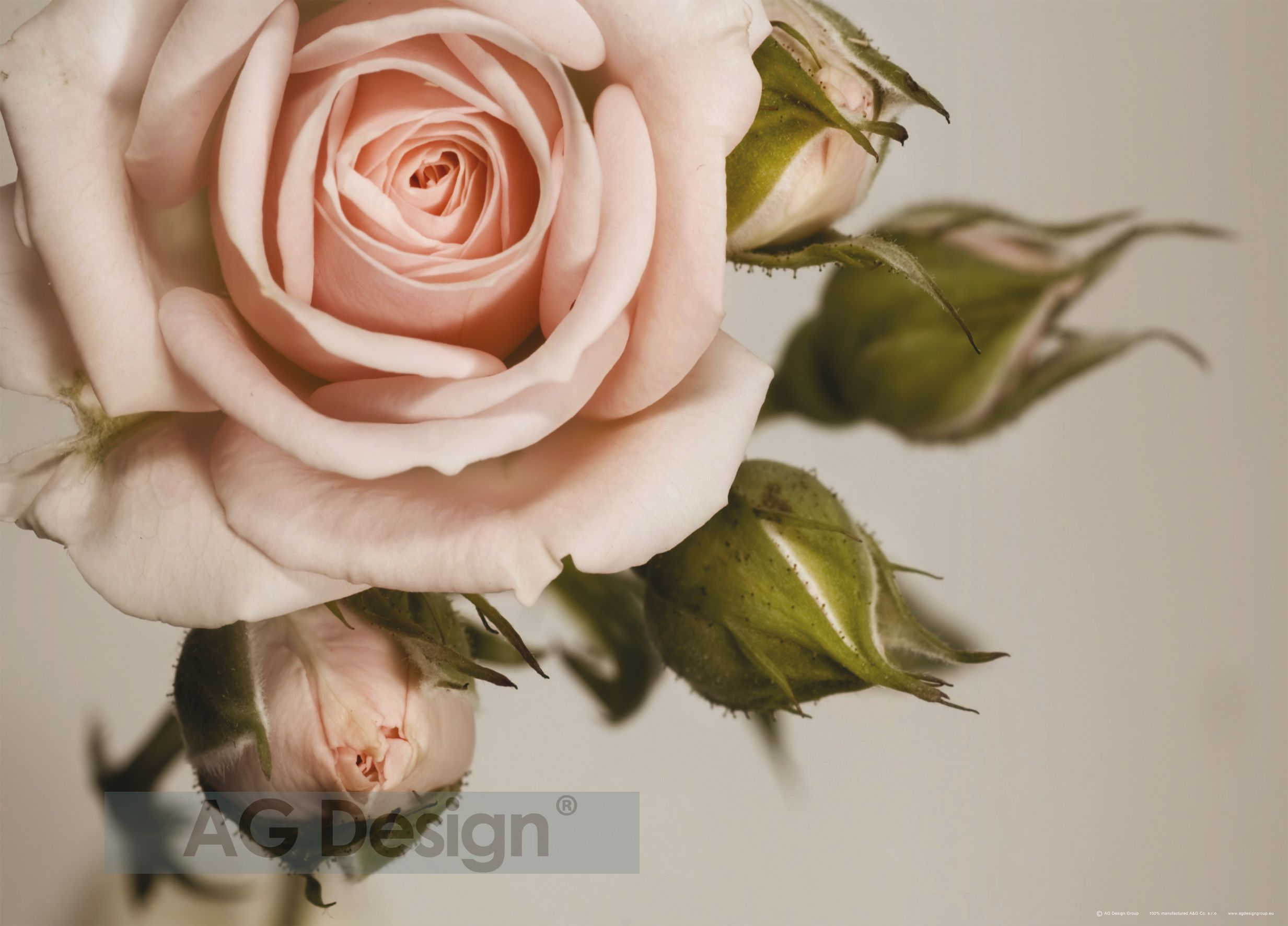 Fototapeta jednodílná - růže
