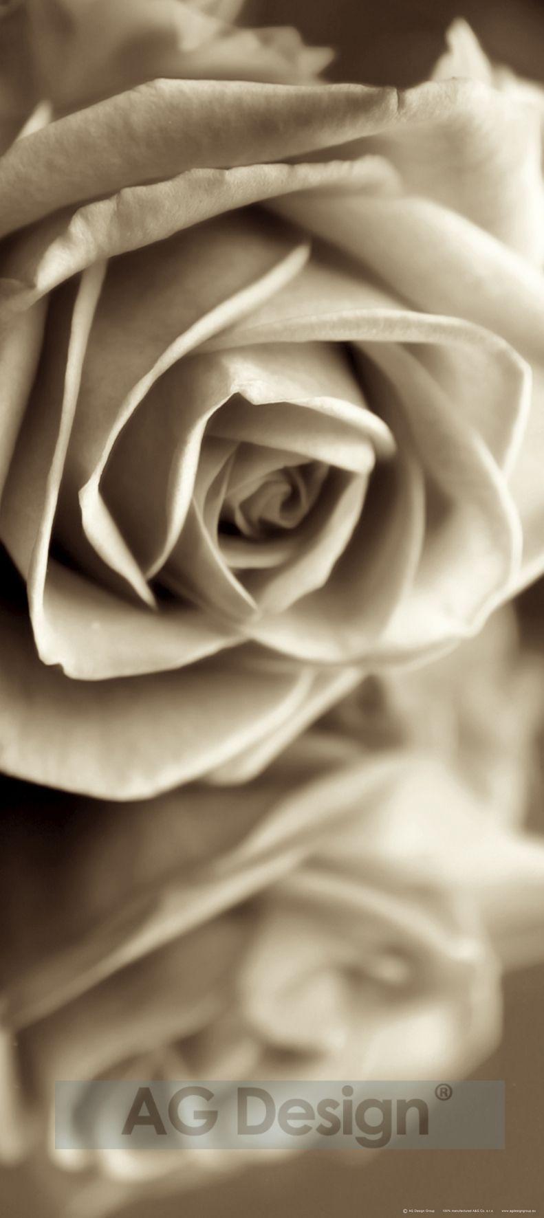 Fototapeta jednodílná - květ růže
